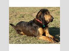 Teoc Bloodhounds, Bloodhound Breeder in Carrollton