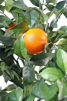 arbre fruitier intérieur arbre artificiel fruitier oranger new int 233 rieur h 150