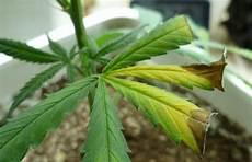 pflanze blätter rollen sich ein hydroponic growing tips cannabis nutrient and deficiency