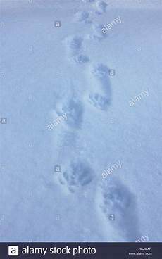 marderspuren im schnee waschb 228 r spuren im schnee in westlichen maine stockfoto