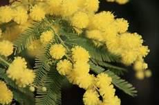 mimose pflanze kaufen die falsche mimose acacia dealbata als