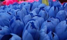 Gambar Bunga Cantik Warna Biru Kumpulan Gambar Bunga