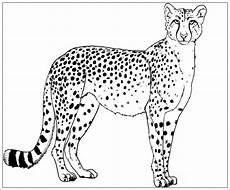 Kostenlose Malvorlage Gepard Ausmalbilder Gepard Kostenlos