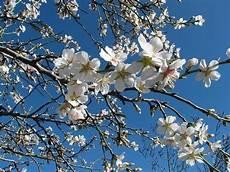 fiori mandorlo fiore di mandorlo significato fiori