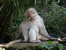 Gambar Lucu Monyet Teler Di Sing Botol Juragan Cipir