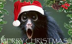 merry christmas monkey picture a rainy christmas monkey s