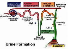 biology and geology quot the panda s thumb quot formation of urine