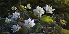 White Flowers Hd Images by White Lotus Flowers Hd Wallpaper Background Image