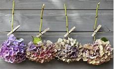 wie trocknet hortensien hortensien trocknen 4 tipps zum haltbarmachen der bl 252 ten