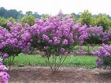lilac tree 35 lilac crape myrtle tree shrub flower seeds drought