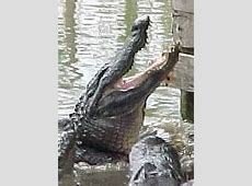alligator attacks hilton head island