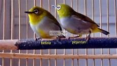 Terbaru 25 Gambar Burung Opior Paruh Tebal Jantan Richa