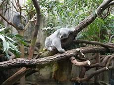 bild quot koala quot zu zoo duisburg in duisburg