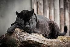 jaguar animal noir au royaume du jaguar magazine faune nature