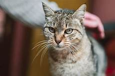 cat hair 6 reasons for hair loss in cats catster