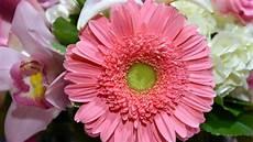 significato dei fiori gerbera significato fiori e piante scopri i fiori adatti in ogni