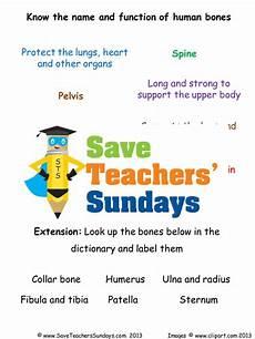human skeleton ks2 lesson plan and worksheet by