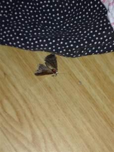 motten im schlafzimmer nachtfalter im wohn schlafzimmer insekten schmetterling
