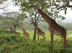 die giraffe giraffe animal photo