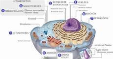 12 Organel Sel Hewan Dan Fungsinya
