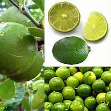 citron vert wikijunior les fruits citron vert wikilivres