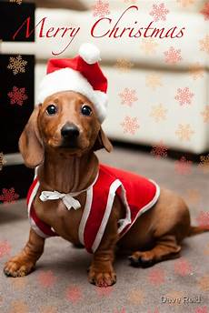 quot merry christmas sausage dog quot posters by dave redbubble