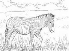 Ausmalbilder Erwachsene Leopard Zebra Malvorlage Zum Ausdrucken Und Ausmalen Kostenlos