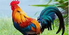 Gambar Sketsa Ayam Jantan Sketsa Gambar
