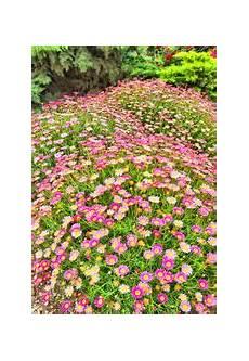 couvre sol mi ombre persistant fleur de