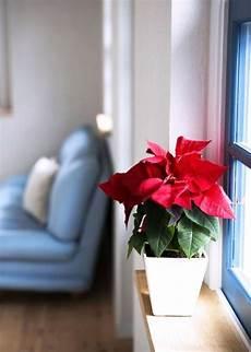 Tipps Und Tricks F 252 R Die Richtige Weihnachtsstern Pflege