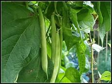 Climbing Bean Plant