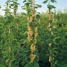 johannisbeeren pflanzen kaufen wei 223 e s 228 ulen johannisbeere kaufen bei g 228 rtner p 246 tschke