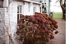 Vertrocknete Pflanzen Retten - hortensie vertrocknet 187 ist sie noch zu retten