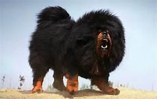 Tibetan Mastiff Temperament Characteristics World S