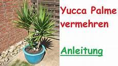 yucca palme pflegen yucca palme durch steckling vermehren ableger vermehrung