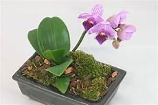 wie oft orchideen gießen orchideen pflege