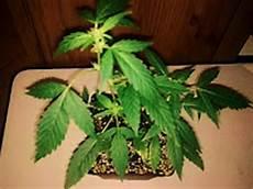 cannabis anbauen aufzucht der jungpflanzen