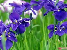 iris fiore coltivazione iris bulbi come coltivare l iris