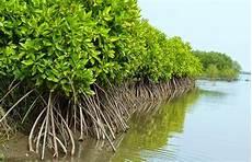 6 000 Hektare Mangrove Di Sumut Hancur Hari