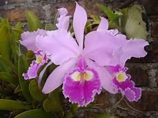 dibujo de la flor nacional de venezuela orquideas familia feliz joven