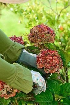 tailler les hortensias photos taille des hortensias tout savoir conseils en vid 233 o