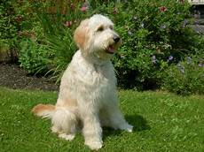types of goldendoodle haircuts google search pretty pin on golden doodles