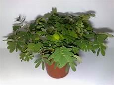 mimose pflanze kaufen die mimose auf dem fensterbrett vegetation daheim
