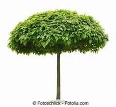 kugel trompetenbaum der sch 246 nste baum f 252 r den vorgarten
