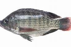 Catat Ikan Nila Bukanlah Ikan Mutan Tanpa Tulang Atau