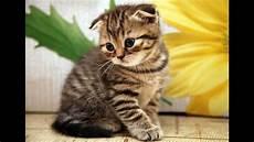 animal planet cats 101 scottish fold