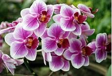 immagini fiori orchidee orchidee italiane orchidea caratteristiche delle