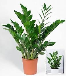 Zamioculcas 1 Pflanze G 252 Nstig Kaufen Mein Sch 246 Ner