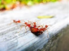 hausmittel gegen ameisen im garten die besten und effektivsten hausmittel gegen ameisen in