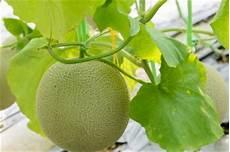 honigmelone pflanzen 187 so gelingt der anbau